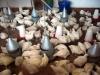 polli-il-nostro-malawi-utawaleza-farm-fattoria-koche-africa